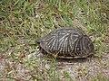 Wild Turtle - panoramio (1).jpg