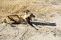 Wild dog (45676652141).jpg