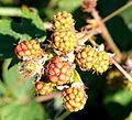 Wild unripe blackberries.jpg