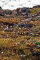 Wildflowers, Grise Fiord, Nunavut (2008) -2.jpg
