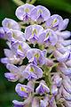 Wisteria Flowers (17743623894).jpg