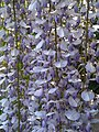 Wisteria sinensis - London 3.jpg
