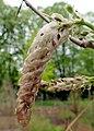 Wisteria sinensis kz04.jpg