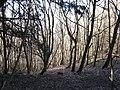 Woodland, Abercorn - geograph.org.uk - 340534.jpg