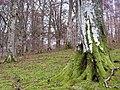 Woodland, Dawyck - geograph.org.uk - 346370.jpg