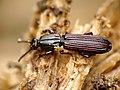 Wrinkled Bark Beetle (29371645352).jpg