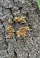 Xanthoria parietina 126405779.jpg