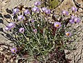 Xylorhiza tortifolia 2.jpg