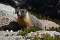 Yellow-bellied marmot, Yosemite National Park, California, USA.jpg