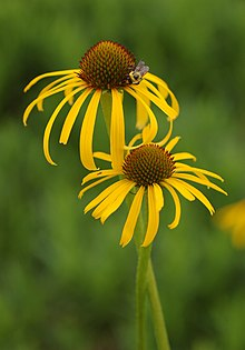 Yellow Coneflower Echinacea paradoxa Twisted Pair Bee 2000px.jpg