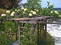 Yellow Roses by the Swimming Pool - panoramio.jpg