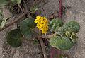 Yellow Sand Verbena (Abronia latifolia) (5803225248).jpg