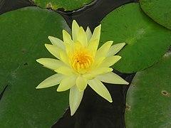 240px yellow lotus