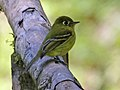 Yellowish Flycatcher RWD.jpg