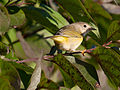 Young female Nashville Warbler (6219549745).jpg