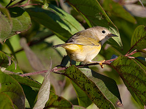 Nashville warbler - A young female in Madison, Wisconsin