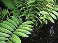 Zamia furfuracea leaves.jpg