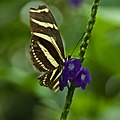 Zebra Longwing butterfly on flower at the Niagara Parks Butterfly Conservatory, 2009.jpg