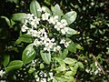 Zieria montana.jpg