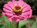 Zinnia from Lalbagh flower show Aug 2013 8629.JPG