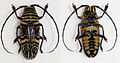 Zographus hieroglyphicus (15734602329).jpg