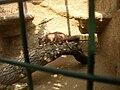 Zoopark Zajezd CZ Caracal caracal eating Rattus norvegicus 041.jpg