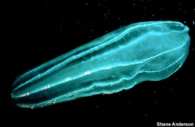 File:Zooplankton2 300.jpg