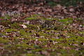 Zoothera aurea, Kobe-shi, Japan 3.jpg