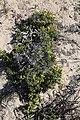 Zygophyllum spinosum = Roepera spinosa (Zygophyllaceae) (37468792592).jpg