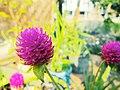 """""""+arya+"""" Gomphrena globosa ꦏꦼꦩ꧀ꦧꦁ ꦏꦚ꧀ꦕꦶꦁ bunga kenop- pilangsari 2019.jpg"""