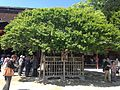 """Tobiume"" plum tree in front of Gohonden of Dazaifu Temman Shrine.JPG"
