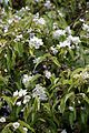 'Hoheria populnea' Lacebark flowers in Walled Garden of Goodnestone Park Kent England.jpg