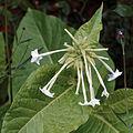 'Nicotiana alata' Tobacco plant - Sundial Garden - Hatfield House - Hertfordshire England.jpg