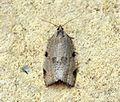 (1002) Lozotaenia forsterana - Flickr - Bennyboymothman.jpg