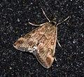 (1365) Pyrausta despicata (4779878474).jpg