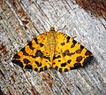 (1909) Speckled Yellow (Pseudopanthera macularia) (27516197663).jpg