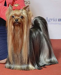 (2 version) Grupp 3, YORKSHIRETERRIER, NO UCH SE UCH Oxzar Amazing Bel's Toffy (24310212305).jpg