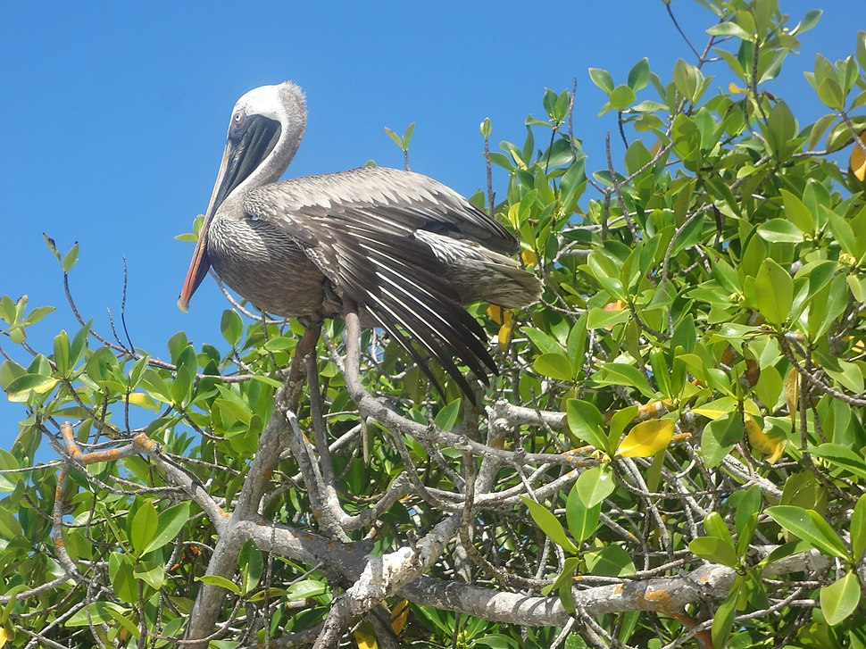 (Pelecanus occidentalis) Tortuga Bay on the Island of Santa Cruz, Galápagos