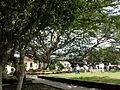 Árbol Samán de la plaza principal 08-03-2011.JPG