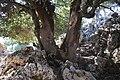 Ένας πρίνος ανάμεσα στα βράχια, δρόμος προς τον Ομαλό Βιάννου.jpg