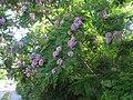 Акація з бузковим цвітом, Севастополь.jpg