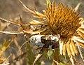 Аконтия светлая - Acontia lucida - Pale Shoulder (36799070136).jpg