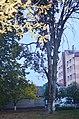 Бук червонолистий у Кам'янець-Подільському по вулиці Сіцінського, 2.jpg