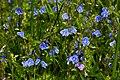 Вероні́ка дібровна (Veronica chamaedrys) на території «Середнього Побужжя» P1210577.jpg