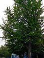 Дерево Гінкго у Дрогобичі.jpg
