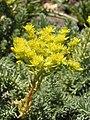 Растения в Седово 165.JPG