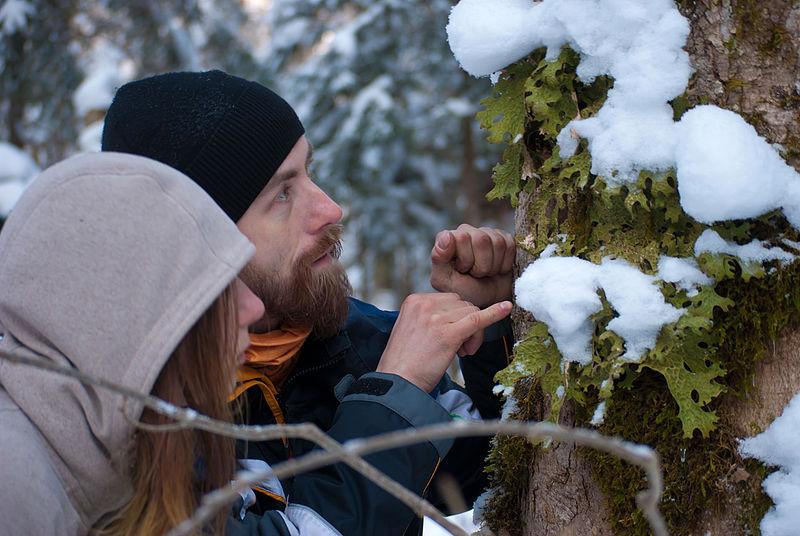 Лишайник лобарія легеневоподібна (Lobaria pulmonaria) поселився на стовбурі дерева. Автор фото — Konung yaropolk