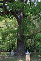 Ходосівський дуб IMG 9612 03.jpg