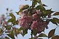 Цветущая сакура в парке Киото - Cherry blossoms in Kyoto park (26752832945).jpg