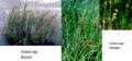 الشكل (2-8-3-1) صور للنباتات المستعملة في الأراضي الرطبة (1) (ث).png